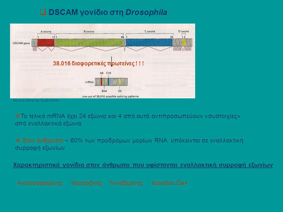  DSCAM γονίδιο στη Drosophila Mol.biol.of the cell, fourth edition  Το τελικό mRNA έχει 24 εξώνια και 4 από αυτά αντιπροσωπεύουν «συστοιχίες» από εναλλακτικά εξώνια 38.016 διαφορετικές πρωτείνες .