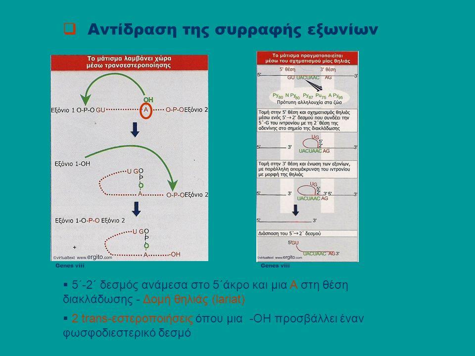  Μηχανισμός της συρραφής εξωνίων Συμμετοχή μικρών πυρηνικών RNA (small nuclear RNA): snRNA snRNA : U1,U2,U4,U5,U6 snRNA + πρωτεΐνες ριβονουκλεοπρωτεϊνικά σύμπλοκα snRNPs snRNPs + πρωτεΐνες : spliceosome spliceosome : σωμάτιο ή συσκευή συρραφής του pre-mRNA U1 U2AF,BBP U2 U4/U6 U5:U4/U6/U5 U6/U2 U5 U6/U2/U5 snRNPΝέος κύκλος αντιδράσεων