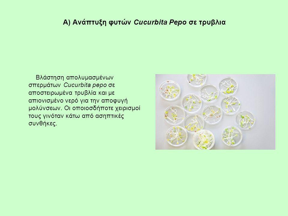 Α) Ανάπτυξη φυτών Cucurbita Pepo σε τρυβλια Βλάστηση απολυμασμένων σπερμάτων Cucurbita pepo σε αποστειρωμένα τρυβλία και με απιονισμένο νερό για την α
