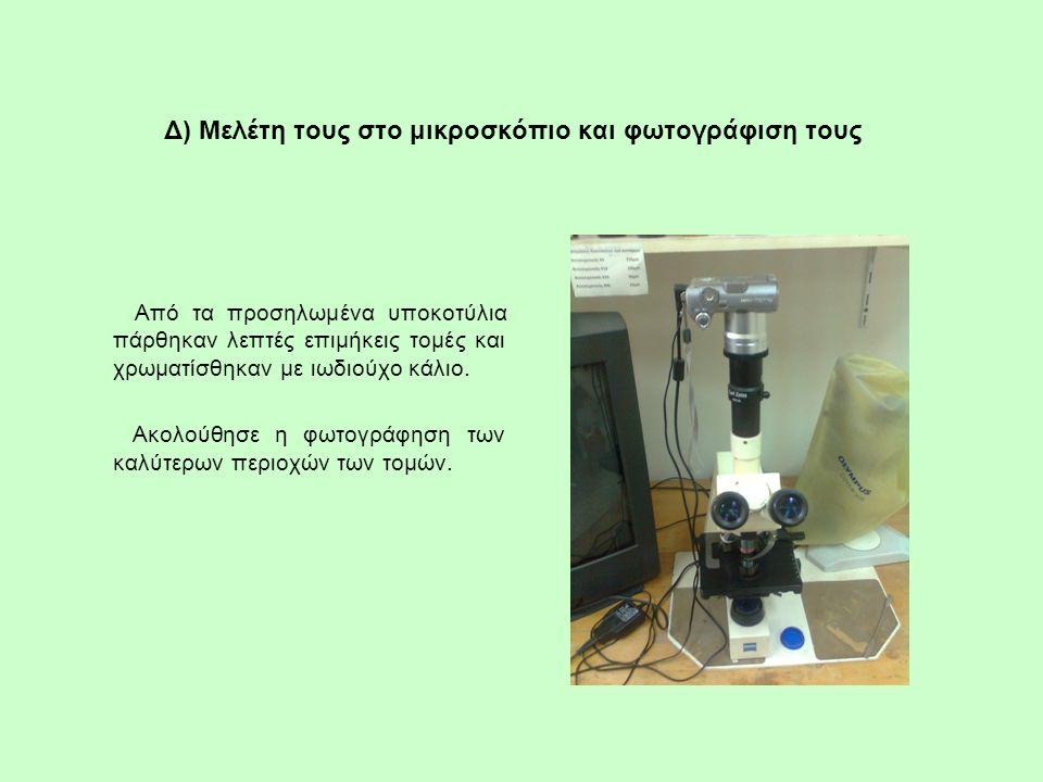 Δ) Μελέτη τους στο μικροσκόπιο και φωτογράφιση τους Από τα προσηλωμένα υποκοτύλια πάρθηκαν λεπτές επιμήκεις τομές και χρωματίσθηκαν με ιωδιούχο κάλιο.