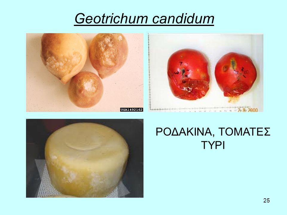 25 Geotrichum candidum ΡΟΔΑΚΙΝΑ, ΤΟΜΑΤΕΣ ΤΥΡΙ