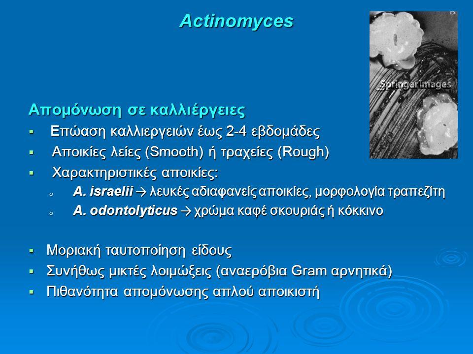 Actinomyces Απομόνωση σε καλλιέργειες  Επώαση καλλιεργειών έως 2-4 εβδομάδες  Αποικίες λείες (Smooth) ή τραχείες (Rough)  Χαρακτηριστικές αποικίες: