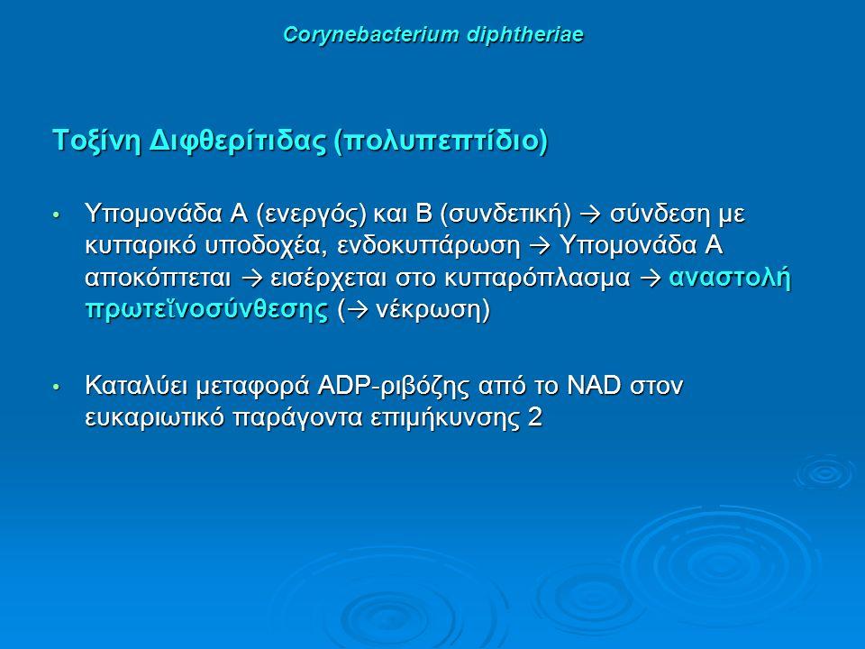 Corynebacterium diphtheriae Τοξίνη Διφθερίτιδας (πολυπεπτίδιο) Υπομονάδα Α (ενεργός) και Β (συνδετική) → σύνδεση με κυτταρικό υποδοχέα, ενδοκυττάρωση → Υπομονάδα Α αποκόπτεται → εισέρχεται στο κυτταρόπλασμα → αναστολή πρωτε ἵ νοσύνθεσης ( → νέκρωση) Υπομονάδα Α (ενεργός) και Β (συνδετική) → σύνδεση με κυτταρικό υποδοχέα, ενδοκυττάρωση → Υπομονάδα Α αποκόπτεται → εισέρχεται στο κυτταρόπλασμα → αναστολή πρωτε ἵ νοσύνθεσης ( → νέκρωση) Καταλύει μεταφορά ADP-ριβόζης από το NAD στον ευκαριωτικό παράγοντα επιμήκυνσης 2 Καταλύει μεταφορά ADP-ριβόζης από το NAD στον ευκαριωτικό παράγοντα επιμήκυνσης 2