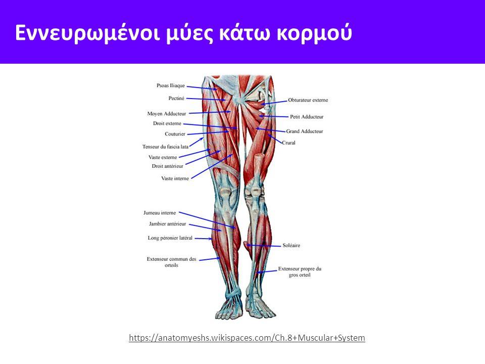 Εννευρωμένοι μύες κάτω κορμού https://anatomyeshs.wikispaces.com/Ch.8+Muscular+System