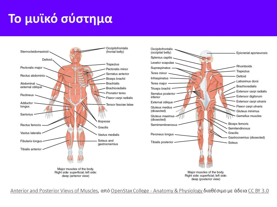 Το μυϊκό σύστημα Anterior and Posterior Views of MusclesAnterior and Posterior Views of Muscles, από OpenStax College - Anatomy & Physiology διαθέσιμο με άδεια CC BY 3.0OpenStax College - Anatomy & Physiology CC BY 3.0