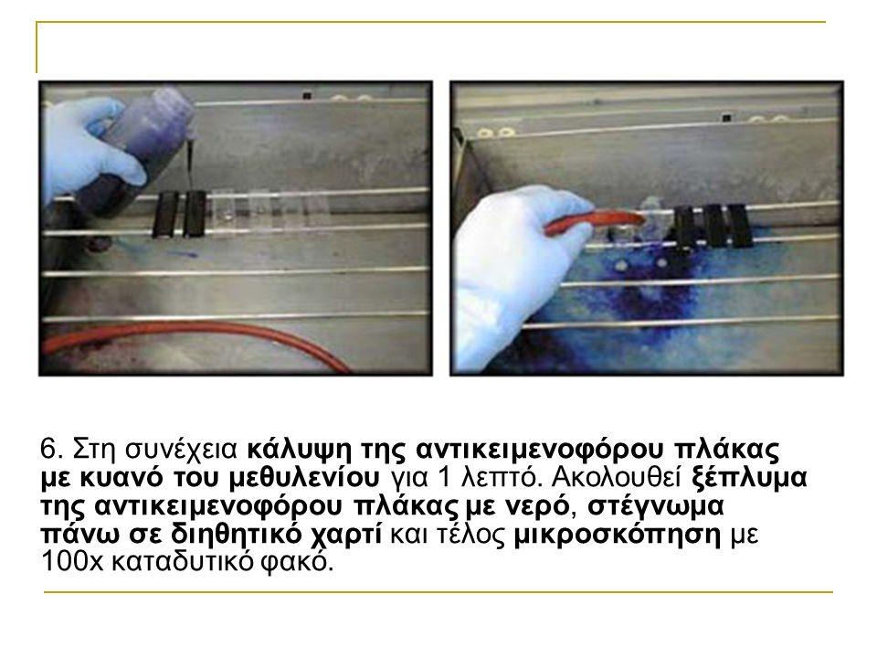6. Στη συνέχεια κάλυψη της αντικειμενοφόρου πλάκας με κυανό του μεθυλενίου για 1 λεπτό.