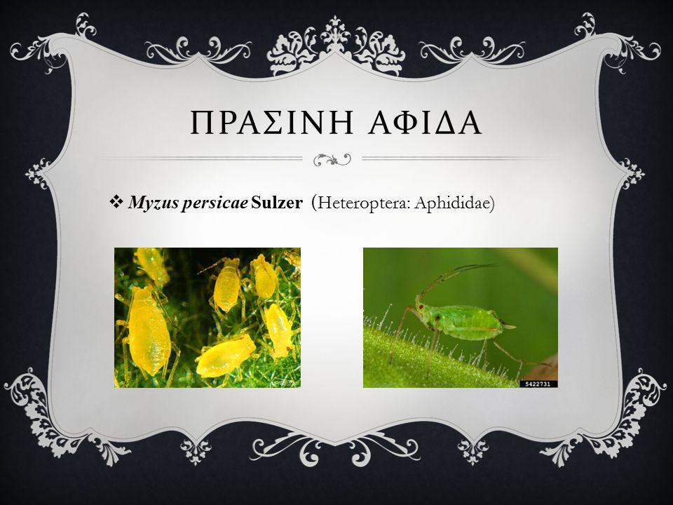 ΠΡΑΣΙΝΗ ΑΦΙΔΑ  Myzus persicae Sulzer (Heteroptera: Aphididae)