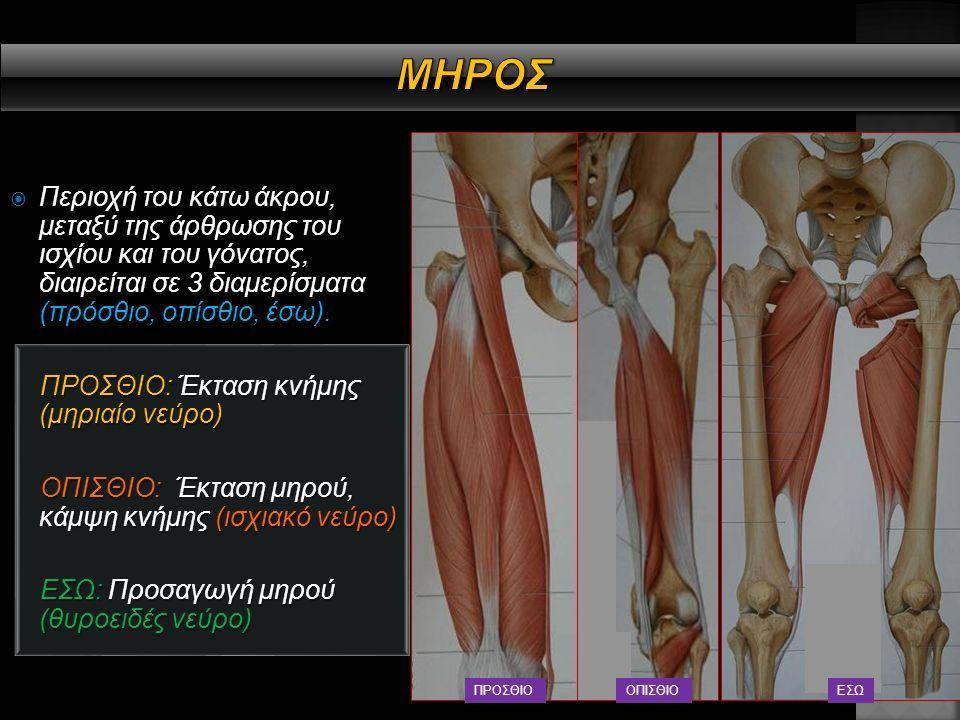  Το μηριαίο οστό, σκελετικό υπόστρωμα του μηρού, κάμπτεται προς τα εμπρός, έχει λοξή κατεύθυνση από τον μηριαίο αυχένα προς το κάτω άκρο και πρόσθια απόκλιση του μηριαίου αυχένα (10-15 ο ) ΜΗΡΙΑΙΟ