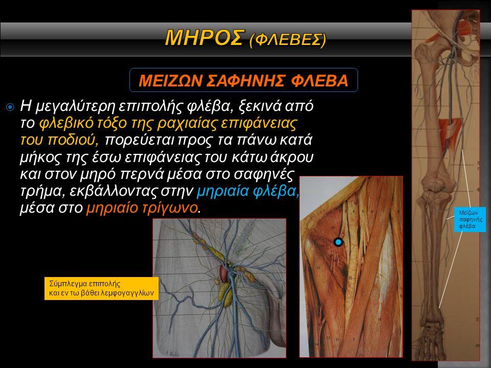  Εκφύεται από το οσφυϊκό πλέγμα (Ο2, Ο3, Ο4) δίνοντας κλάδους: Α) Πρόσθιους δερματικούς κλάδους μηρού και γόνατος Β) Κινητικούς κλάδους για λαγόνιο, κτενίτη, τετρακέφαλο και ραπτικό Γ) Σαφηνές νεύρο για αίσθηση στο δέρμα της έσω επιφάνειας του γόνατος, της κνήμης και του ποδιού.