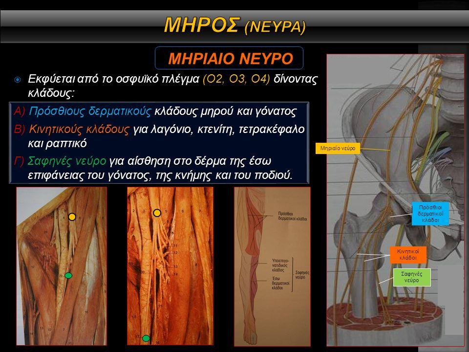  Εκφύεται από το οσφυϊκό πλέγμα (Ο2, Ο3,Ο4) και μέσω του θυροειδούς πόρου, εισχωρεί στο έσω διαμέρισμα του μηρού, διαιρούμενο σε πρόσθιο και οπίσθιο κλάδο.