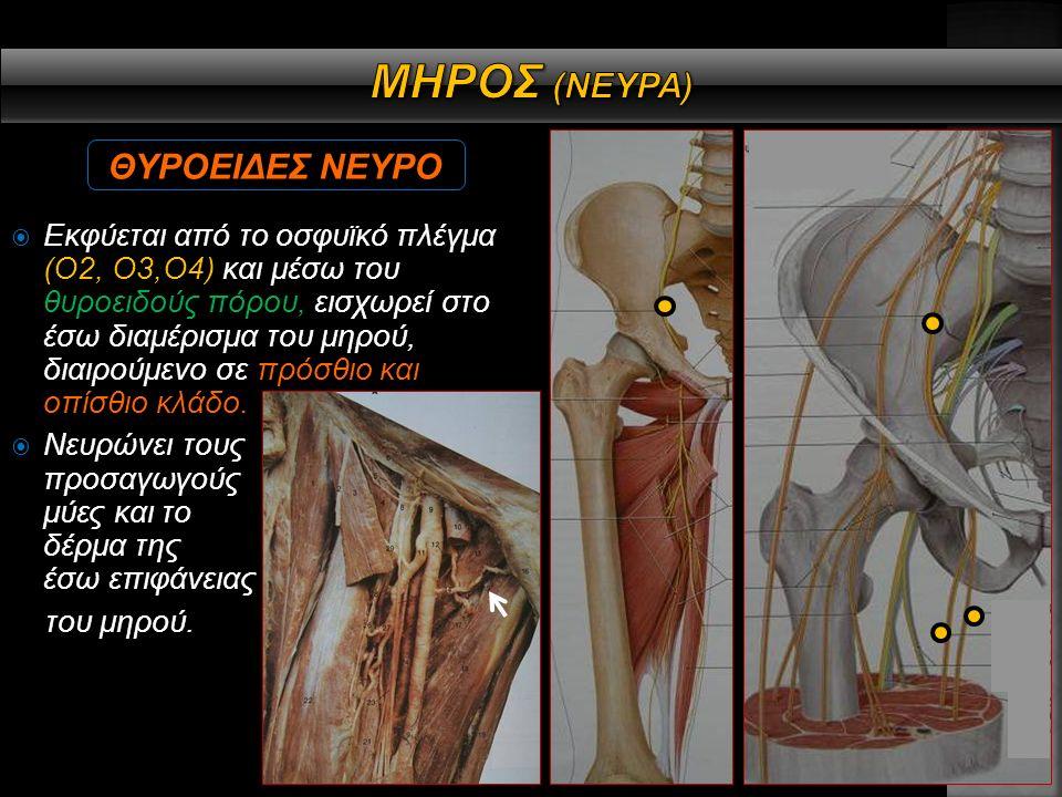  Εκφύεται από το ιερό πλέγμα (Ο4,Ο5,Ι1,Ι2,Ι3) πορεύεται από την γλουτιαία χώρα στο οπίσθιο διαμέρισμα του μηρού, νευρώνοντας όλους τους μύες του, διαιρούμενο σε κνημιαίο (Ο4-Ι3) και κοινό περονιαίο νεύρο (Ο4-Ι2), τα οποία εισδύουν στον ιγνυακό βόθρο συναντώντας την ιγνυακή αρτηρία και φλέβα.