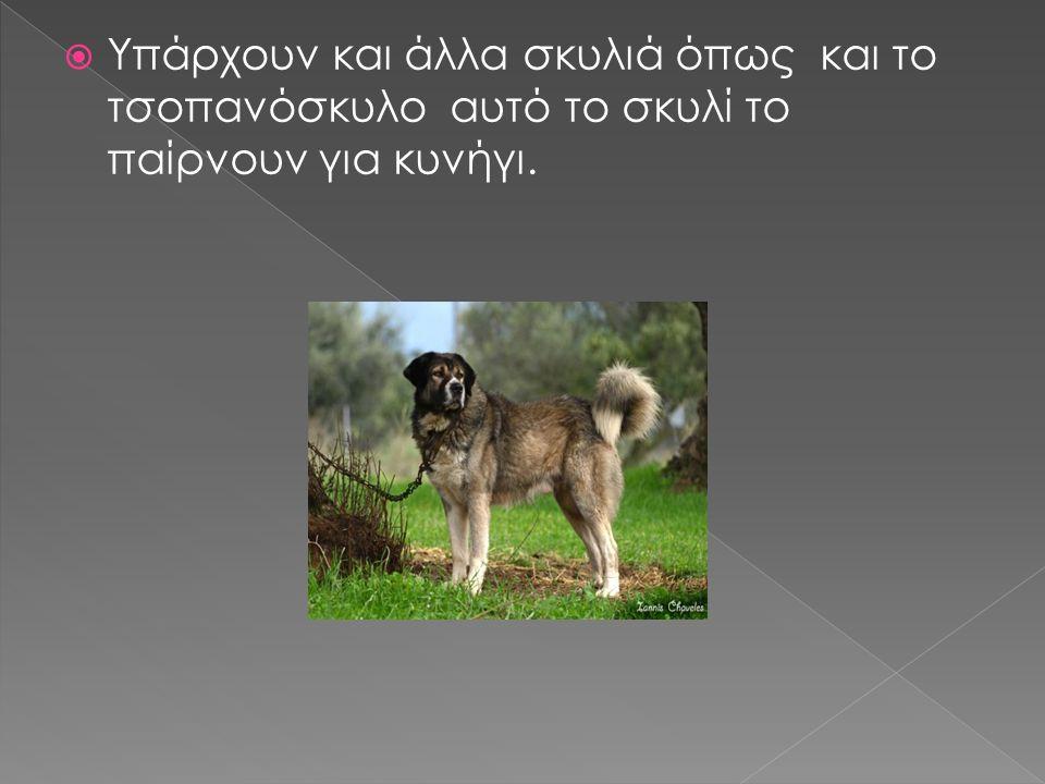  Υπάρχουν και άλλα σκυλιά όπως και το τσοπανόσκυλο αυτό το σκυλί το παίρνουν για κυνήγι.