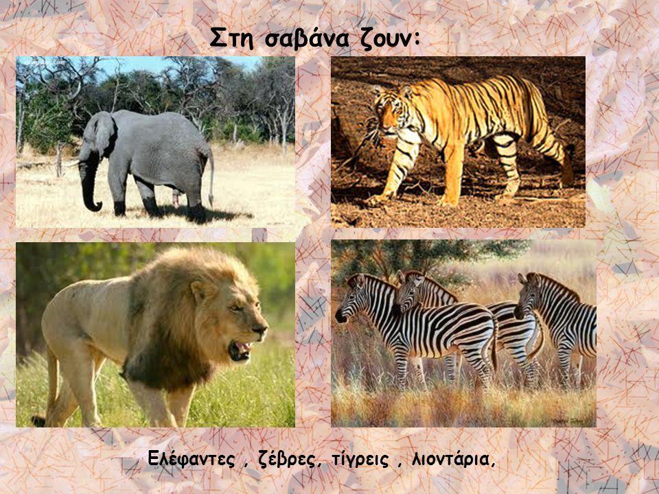 Στη σαβάνα ζουν: Ελέφαντες, ζέβρες, τίγρεις, λιοντάρια,