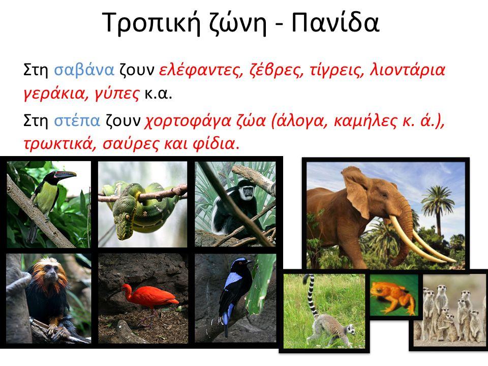 Τροπική ζώνη - Πανίδα Στη σαβάνα ζουν ελέφαντες, ζέβρες, τίγρεις, λιοντάρια γεράκια, γύπες κ.α.