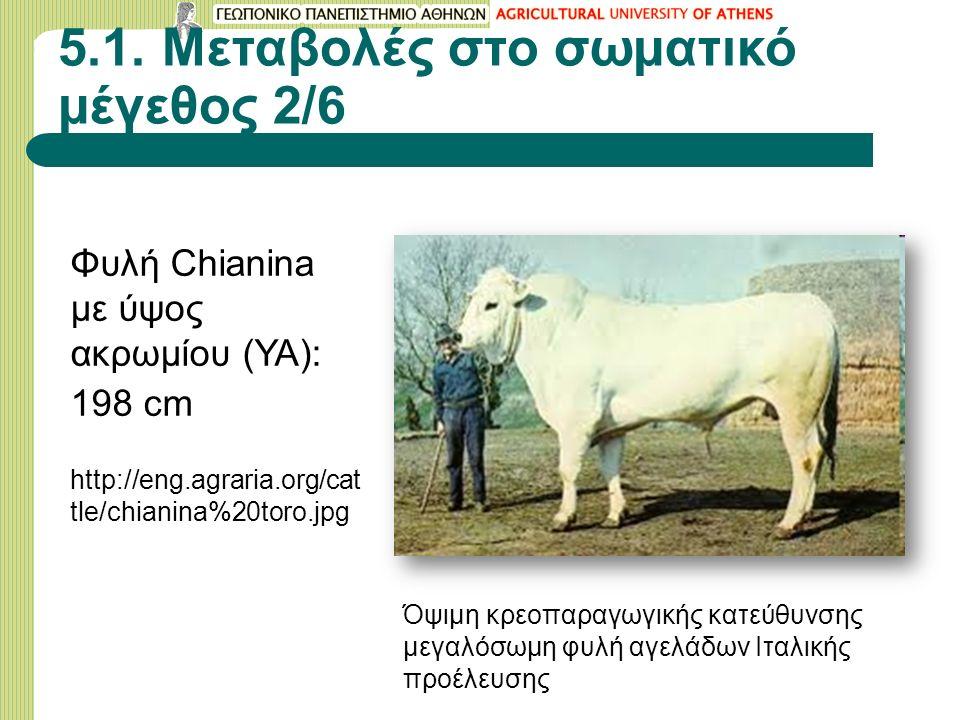 5.1. Μεταβολές στο σωματικό μέγεθος 2/6 Φυλή Chianina με ύψος ακρωμίου (ΥΑ): 198 cm http://eng.agraria.org/cat tle/chianina%20toro.jpg Όψιμη κρεοπαραγ