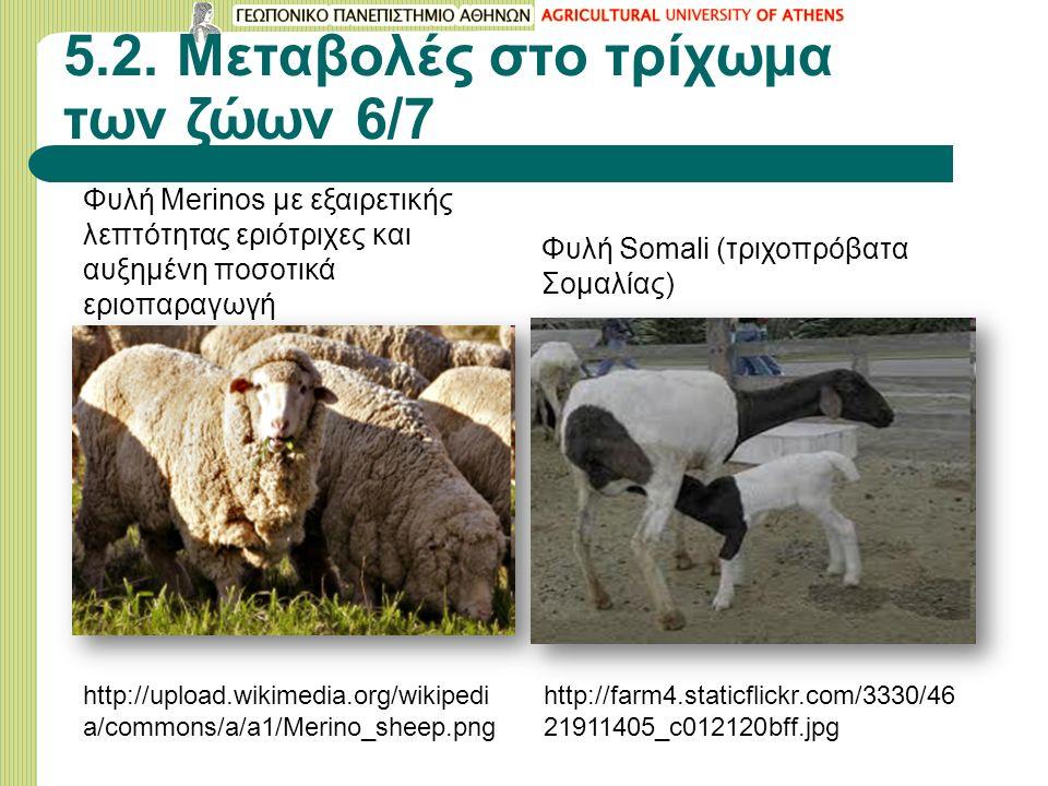 5.2. Μεταβολές στο τρίχωμα των ζώων 6/7 Φυλή Merinos με εξαιρετικής λεπτότητας εριότριχες και αυξημένη ποσοτικά εριοπαραγωγή http://upload.wikimedia.o