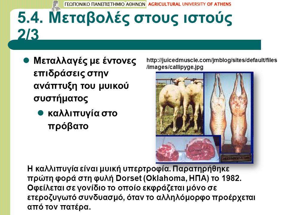 5.4. Μεταβολές στους ιστούς 2/3 Μεταλλαγές με έντονες επιδράσεις στην ανάπτυξη του μυικού συστήματος καλλιπυγία στο πρόβατο Η καλλιπυγία είναι μυική υ