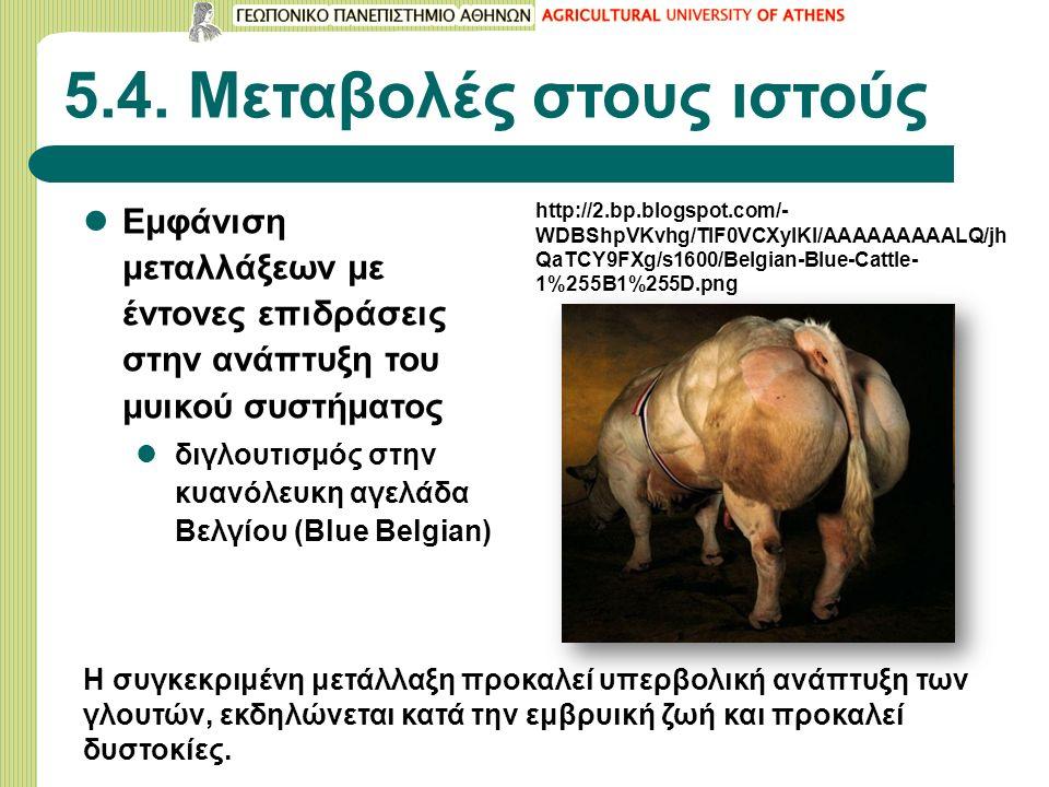 5.4. Μεταβολές στους ιστούς Εμφάνιση μεταλλάξεων με έντονες επιδράσεις στην ανάπτυξη του μυικού συστήματος διγλουτισμός στην κυανόλευκη αγελάδα Βελγίο