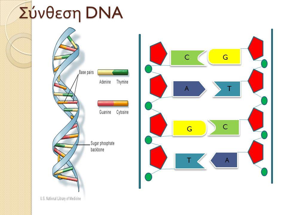 Α C G T T Α C G Σύνθεση DNA
