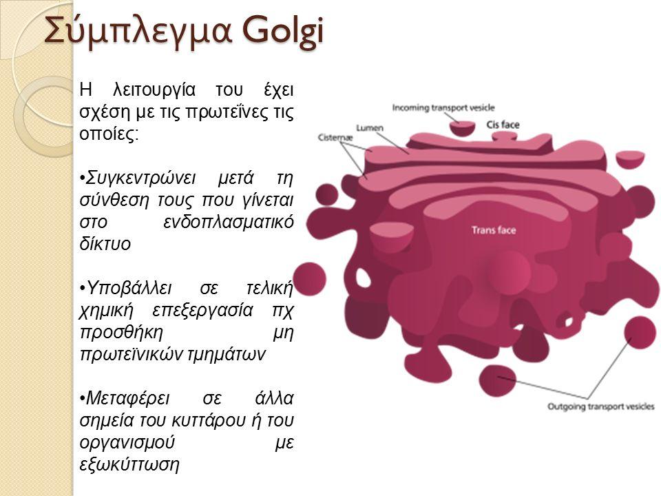 Η λειτουργία του έχει σχέση με τις πρωτεΐνες τις οποίες: Συγκεντρώνει μετά τη σύνθεση τους που γίνεται στο ενδοπλασματικό δίκτυο Υποβάλλει σε τελική χημική επεξεργασία πχ προσθήκη μη πρωτεϊνικών τμημάτων Μεταφέρει σε άλλα σημεία του κυττάρου ή του οργανισμού με εξωκύττωση Σύμπλεγμα Golgi
