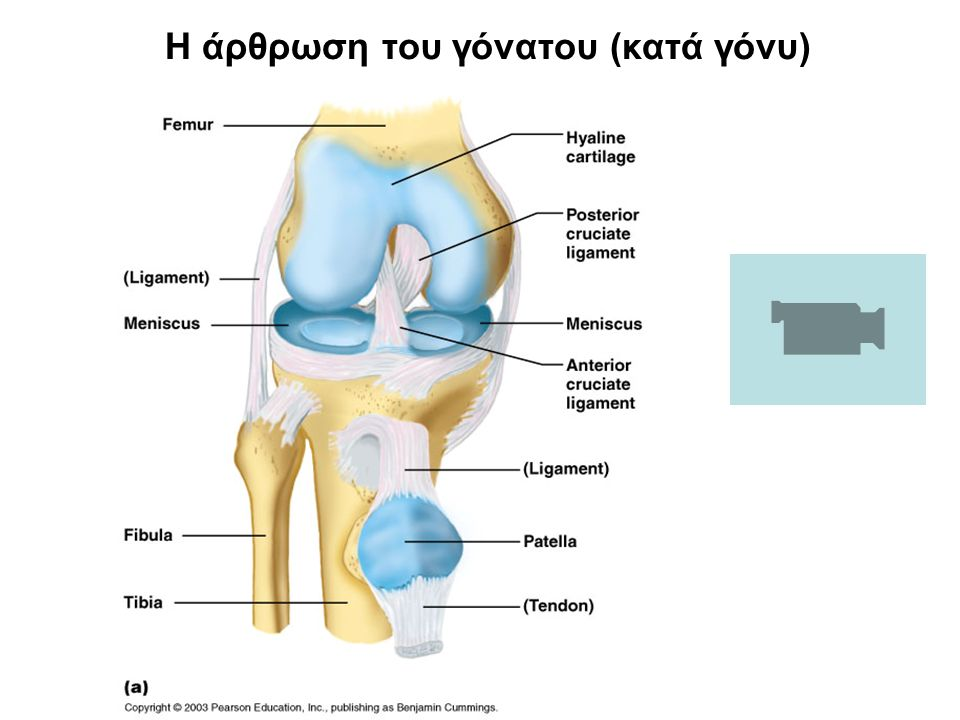 Η άρθρωση του γόνατου (κατά γόνυ)