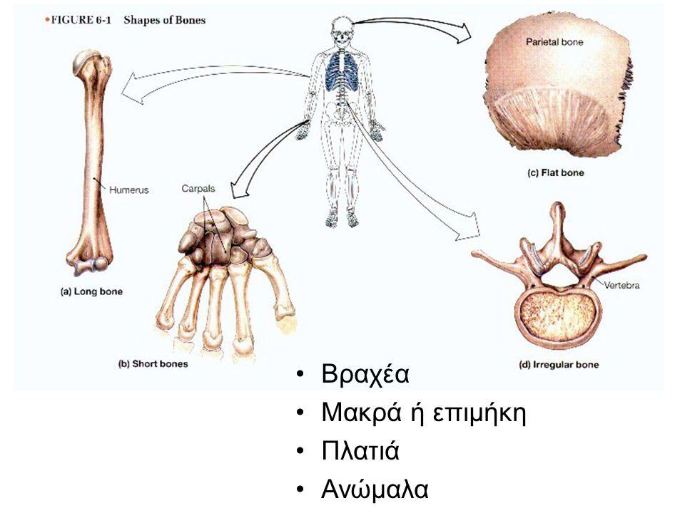 Δομή των οστών Καλύπτονται από μεμβράνη (περιόστεο): θρέψη των οστών και πρόσφυση μυών και συνδέσμων Συμπαγές οστούν: εξωτερική σκληρή επιφάνεια Σπογγώδες οστούν: μαλακό εσωτερικό, με κοιλότητες (μυεολοκυψέλες)