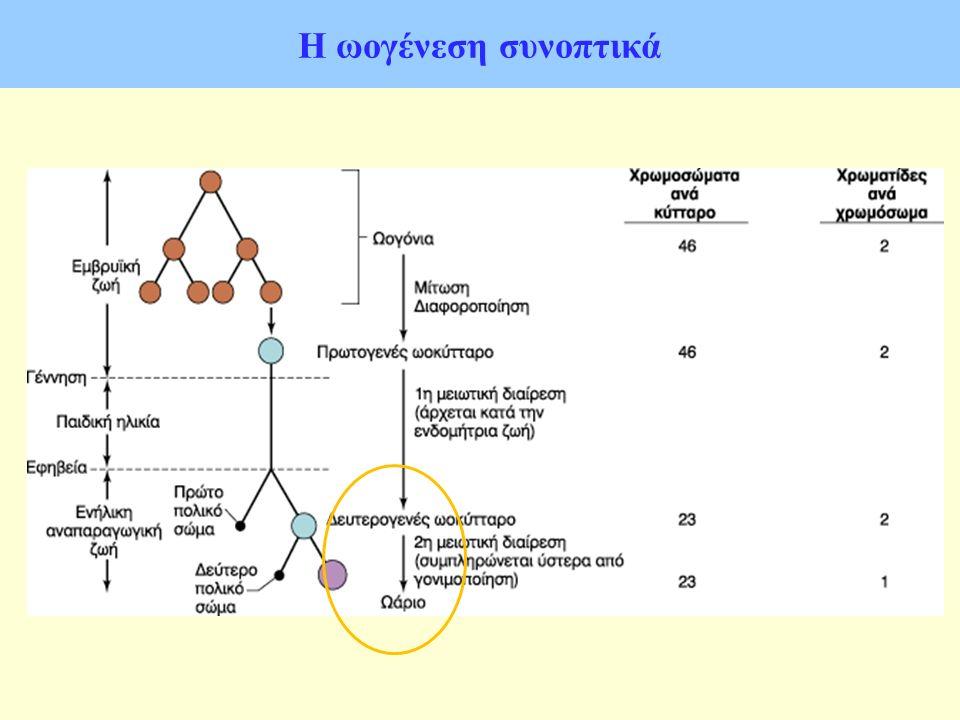 Η ωογένεση συνοπτικά