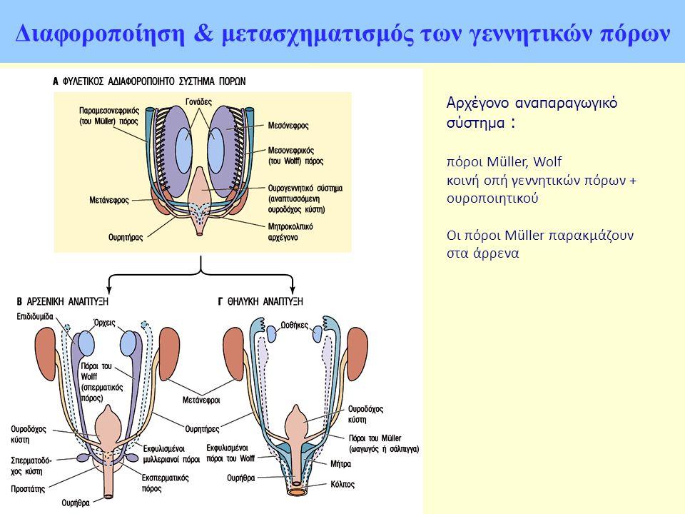 Διαφοροποίηση & μετασχηματισμός των γεννητικών πόρων Αρχέγονο αναπαραγωγικό σύστημα : πόροι Müller, Wolf κοινή οπή γεννητικών πόρων + ουροποιητικού Οι πόροι Müller παρακμάζουν στα άρρενα