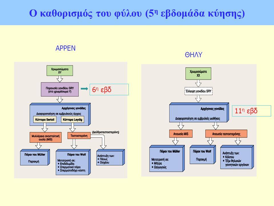 Ο καθορισμός του φύλου (5 η εβδομάδα κύησης) ΑΡΡΕΝ ΘΗΛΥ 6 η εβδ 11 η εβδ