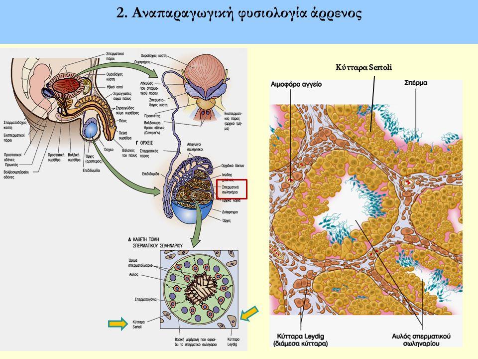 Αναγνώριση και επιδράσεις των LH και FSH στις γονάδες των αρρένων LH (Κύτταρα Leydig): τεστοστερόνη FSH (Κύτταρα Sertoli): σύνθεση αρωματάσης, αυξητικών παραγόντων, ανασταλτίνης, ανδρογονοδεσμευτικής πρωτεΐνης (ABP)
