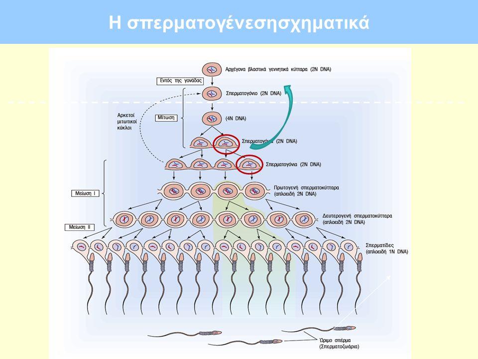 Η σπερματογένεση στα κύτταρα Sertoli (κύτταρα Leydig:τεστοστερόνη)