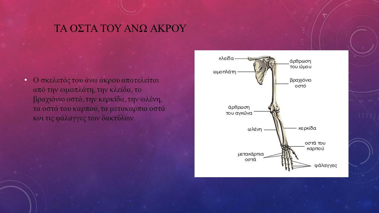 ΤΑ ΟΣΤΑ ΤΟΥ ΑΝΩ ΑΚΡΟΥ Ο σκελετός του άνω άκρου αποτελείται από την ωμοπλάτη, την κλείδα, το βραχιόνιο οστό, την κερκίδα, την ωλένη, τα οστά του καρπού, τα μετακάρπια οστά και τις φάλαγγες των δακτύλων.