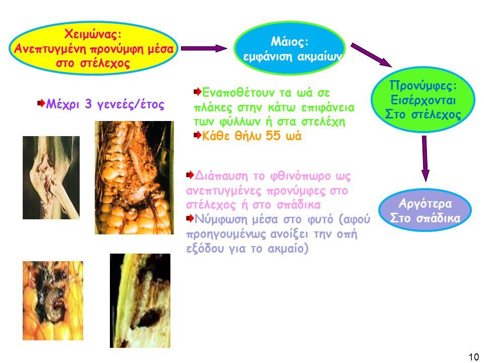 Χειμώνας: Ανεπτυγμένη προνύμφη μέσα στο στέλεχος Μάιος: εμφάνιση ακμαίων Προνύμφες: Εισέρχονται Στο στέλεχος Εναποθέτουν τα ωά σε πλάκες στην κάτω επιφάνεια των φύλλων ή στα στελέχη Κάθε θήλυ 55 ωά Αργότερα Στο σπάδικα Διάπαυση το φθινόπωρο ως ανεπτυγμένες προνύμφες στο στέλεχος ή στο σπάδικα Νύμφωση μέσα στο φυτό (αφού προηγουμένως ανοίξει την οπή εξόδου για το ακμαίο) Μέχρι 3 γενεές/έτος 10