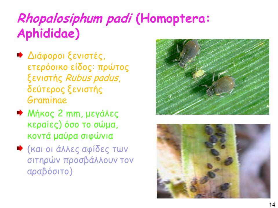 Rhopalosiphum padi (Homoptera: Aphididae) Διάφοροι ξενιστές, ετερόοικο είδος: πρώτος ξενιστής Rubus padus, δεύτερος ξενιστής Graminae Μήκος 2 mm, μεγάλες κεραίες) όσο το σώμα, κοντά μαύρα σιφώνια (και οι άλλες αφίδες των σιτηρών προσβάλλουν τον αραβόσιτο) 14