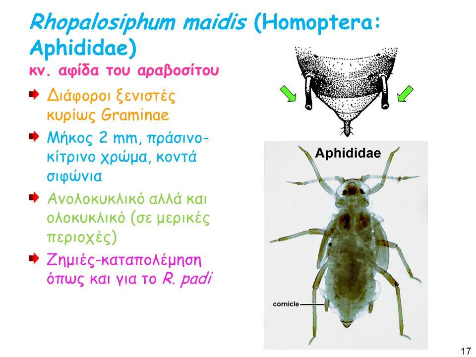 Rhopalosiphum maidis (Homoptera: Aphididae) κν.