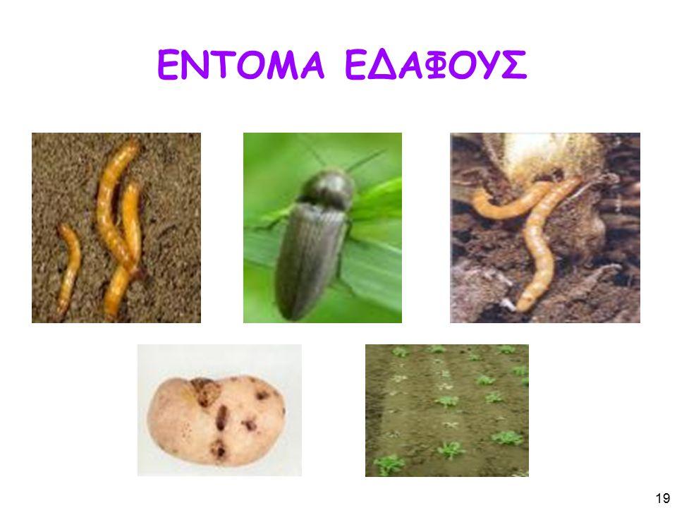 ΕΝΤΟΜΑ ΕΔΑΦΟΥΣ 19