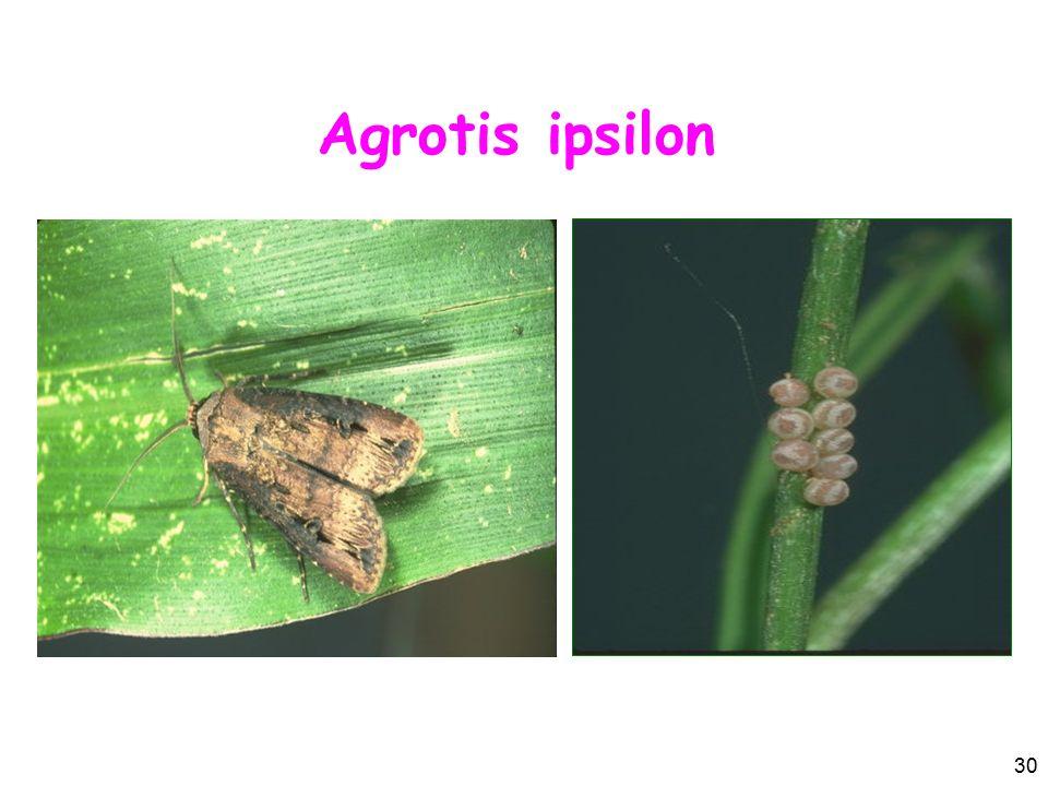 Agrotis ipsilon 30