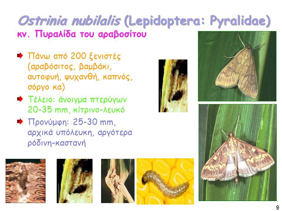 Ostrinia nubilalis (Lepidoptera: Pyralidae) Ostrinia nubilalis (Lepidoptera: Pyralidae) κν.