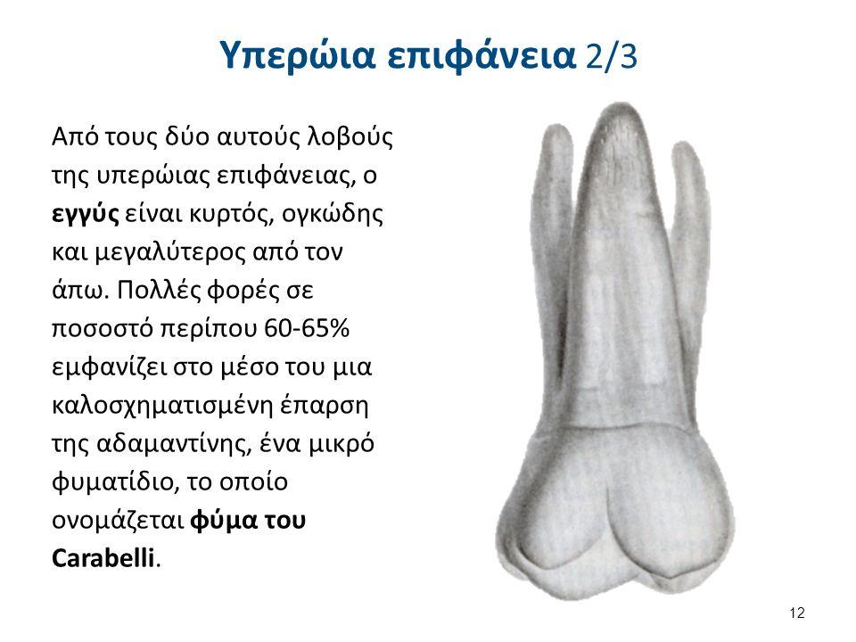 Υπερώια επιφάνεια 2/3 Από τους δύο αυτούς λοβούς της υπερώιας επιφάνειας, ο εγγύς είναι κυρτός, ογκώδης και μεγαλύτερος από τον άπω.