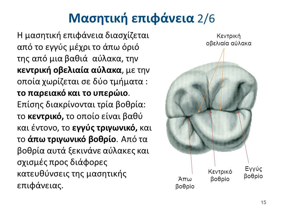 Μασητική επιφάνεια 2/6 Η μασητική επιφάνεια διασχίζεται από το εγγύς μέχρι το άπω όριό της από μια βαθιά αύλακα, την κεντρική οβελιαία αύλακα, με την οποία χωρίζεται σε δύο τμήματα : το παρειακό και το υπερώιο.