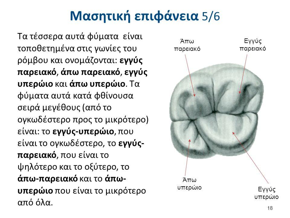 Μασητική επιφάνεια 5/6 Τα τέσσερα αυτά φύματα είναι τοποθετημένα στις γωνίες του ρόμβου και ονομάζονται: εγγύς παρειακό, άπω παρειακό, εγγύς υπερώιο και άπω υπερώιο.