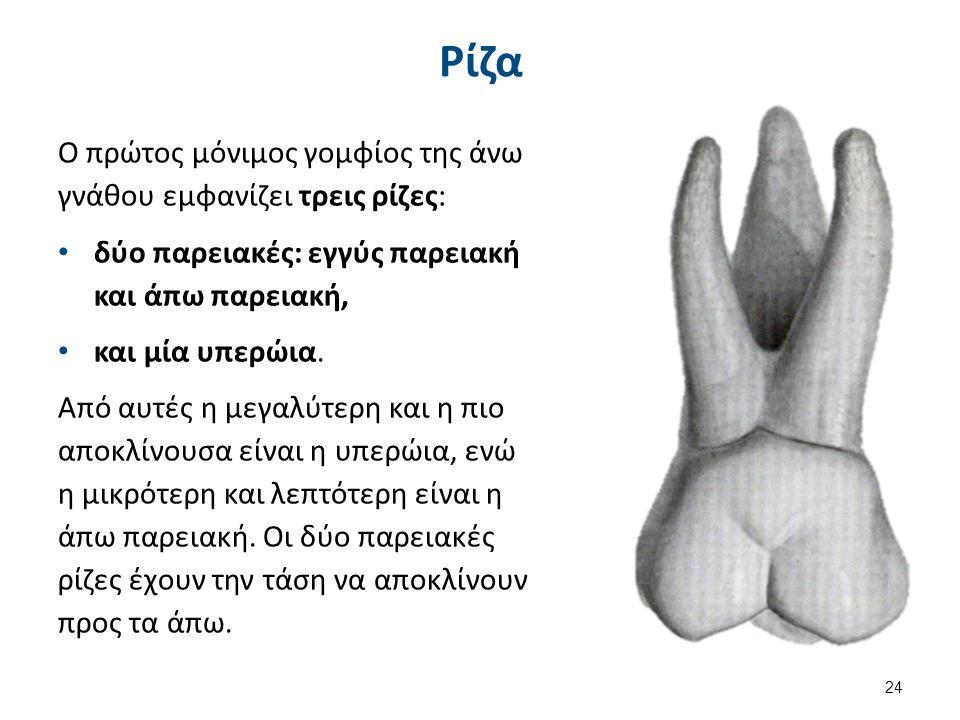 Ρίζα Ο πρώτος μόνιμος γομφίος της άνω γνάθου εμφανίζει τρεις ρίζες: δύο παρειακές: εγγύς παρειακή και άπω παρειακή, και μία υπερώια.