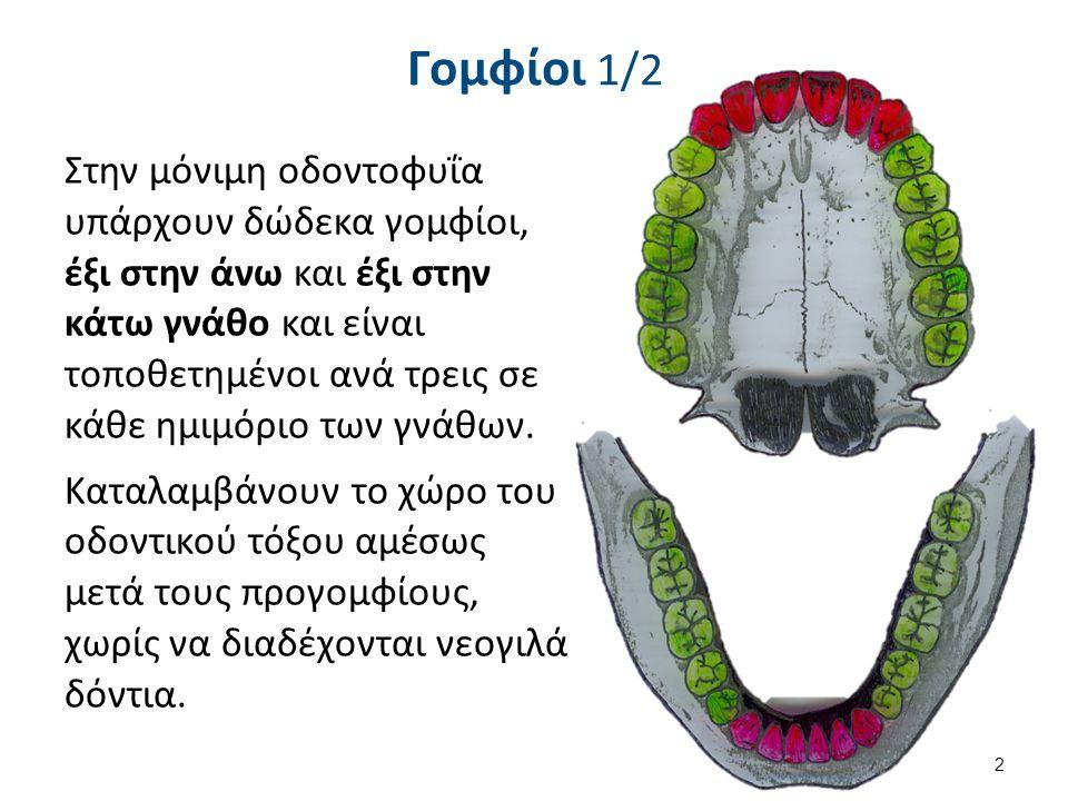 Γομφίοι 1/2 Στην μόνιμη οδοντοφυΐα υπάρχουν δώδεκα γομφίοι, έξι στην άνω και έξι στην κάτω γνάθο και είναι τοποθετημένοι ανά τρεις σε κάθε ημιμόριο των γνάθων.