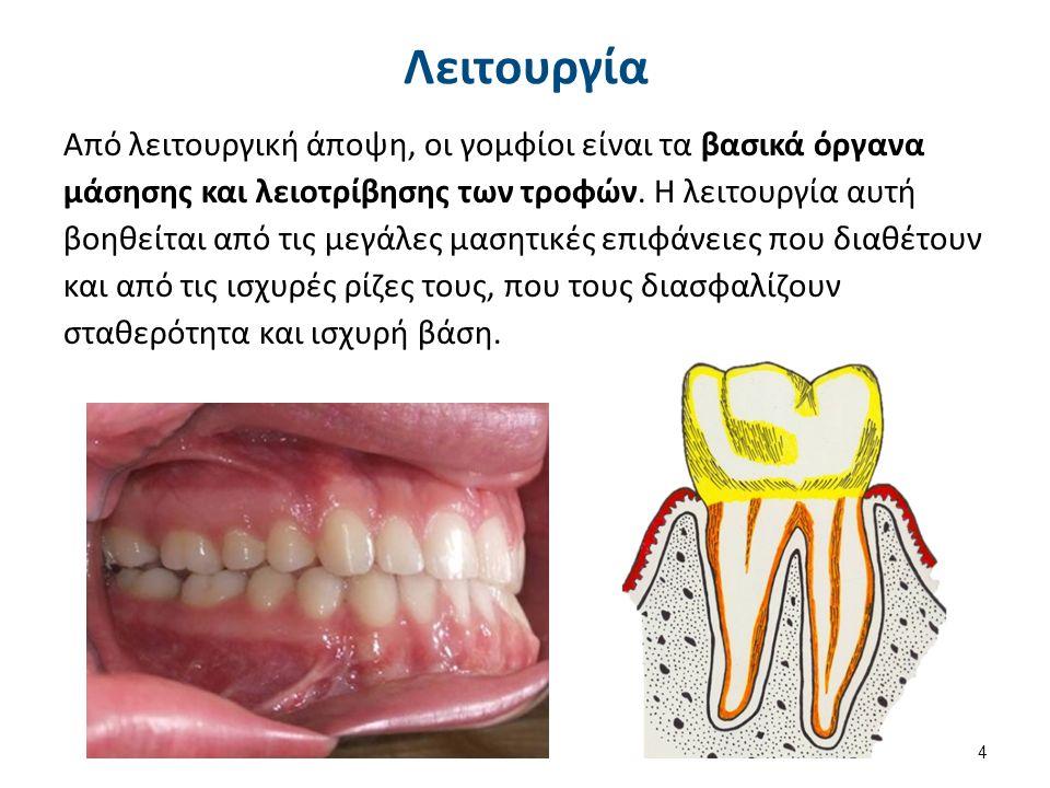 Μορφολογία Από μορφολογική άποψη, εμφανίζουν τις ευρύτερες μασητικές επιφάνειες από όλα τα δόντια του φραγμού και έχουν από τρία μέχρι πέντε φύματα.