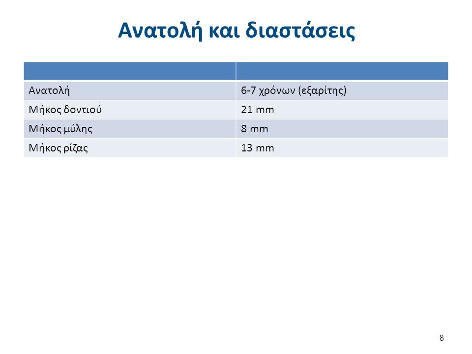 Ανατολή και διαστάσεις Ανατολή6-7 χρόνων (εξαρίτης) Μήκος δοντιού21 mm Μήκος μύλης8 mm Μήκος ρίζας13 mm 8