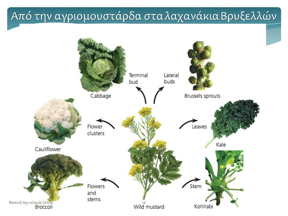 Βασική τεχνολογία GMOs10 Από την αγριομουστάρδα στα λαχανάκια Βρυξελλών