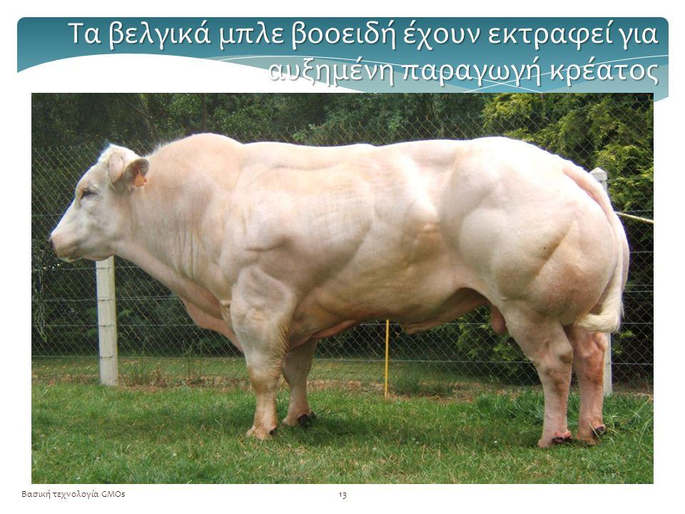 Βασική τεχνολογία GMOs13 Τα βελγικά μπλε βοοειδή έχουν εκτραφεί για αυξημένη παραγωγή κρέατος