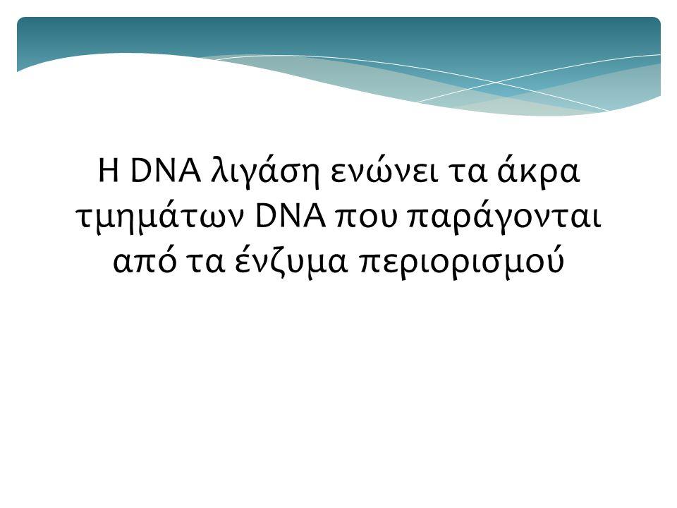 Η DNA λιγάση ενώνει τα άκρα τμημάτων DNA που παράγονται από τα ένζυμα περιορισμού