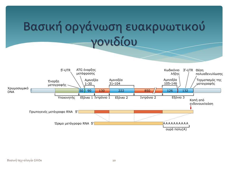 Βασική τεχνολογία GMOs20 Βασική οργάνωση ευακρυωτικού γονιδίου