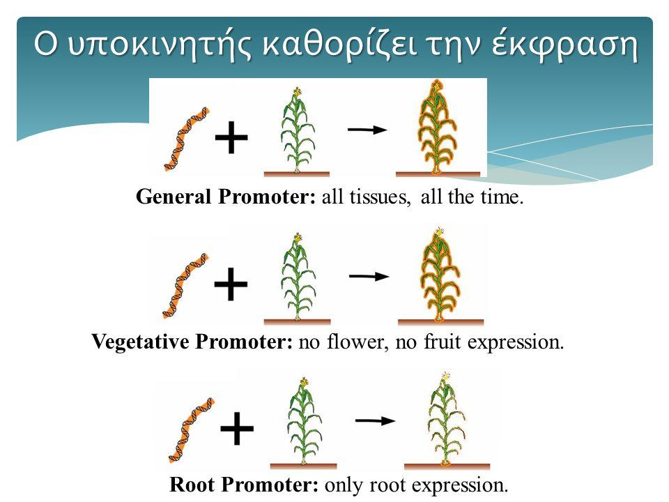 Ο υποκινητής καθορίζει την έκφραση General Promoter: all tissues, all the time.Vegetative Promoter: no flower, no fruit expression.Root Promoter: only root expression.